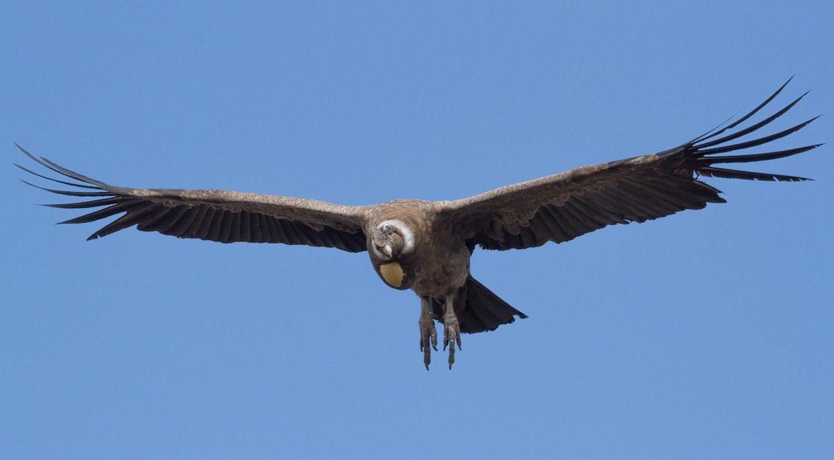 Condor-portada-Ivo-Tejeda