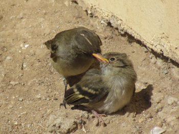 Primer Atlas de las Aves Nidificantes de Chile comienza su última etapa de elaboración