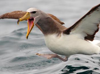 19 de junio: Día Mundial de los Albatros