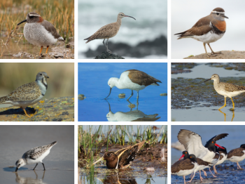 6 de septiembre: Día Mundial de las Aves Playeras