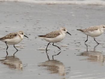 Resultados del Migratory Shorebird Project 2021 en Chile