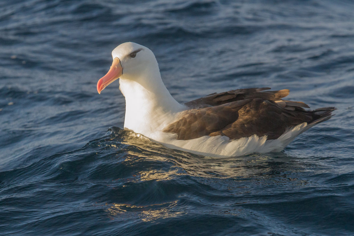 Albatros-de-ceja-negra---Pelagico-Valparaíso---4 2016