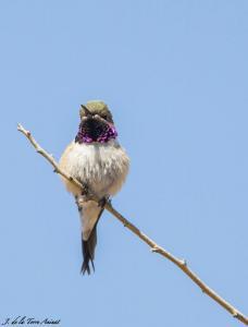Picaflor de Arica (macho). Foto: Jorge de la Torre