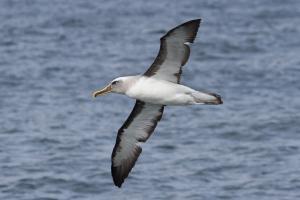 Albatros de Buller. Foto: Ivo Tejeda