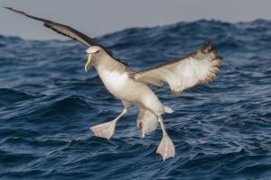 Albatros-de-salvin 3---Pelagico-Valparaíso---4 2016