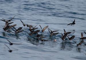 Golondrina de mar de Wilson - Fernando Díaz