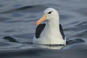 Albatros de ceja negra. Foto: Pablo Cáceres