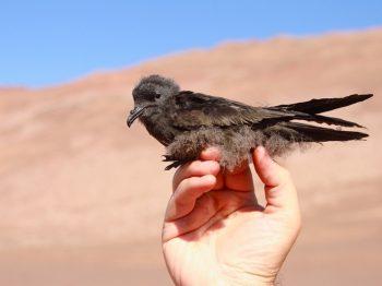 Golondrinas del desierto