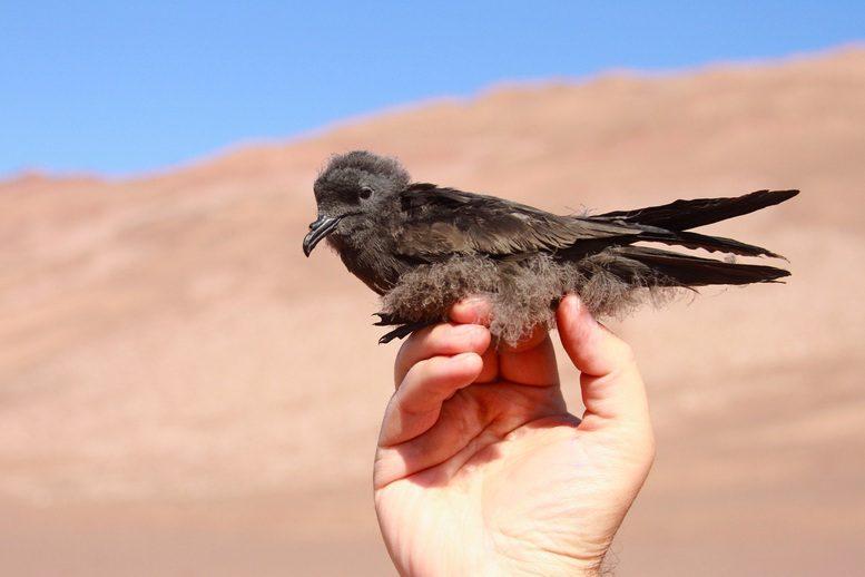 Proyecto_golondrinas del desierto