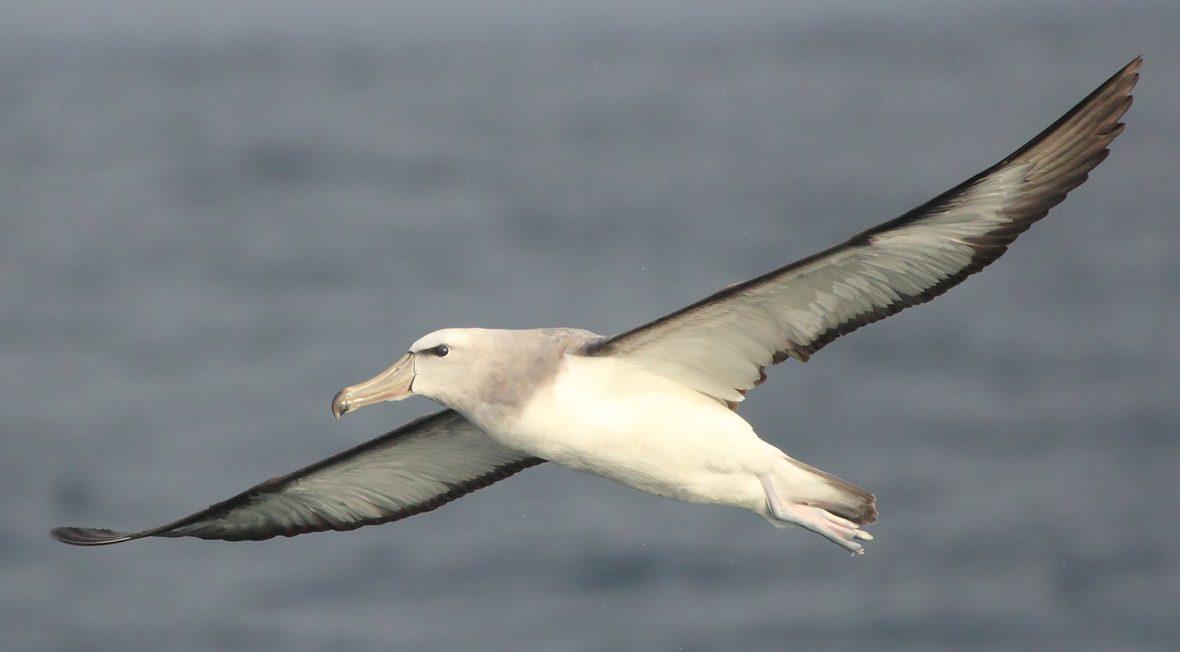 Albatros-de-Salvin-portada-Pablo-Caceres