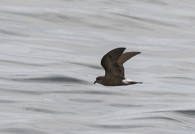 Golondrina de mar peruana - Fernando Díaz