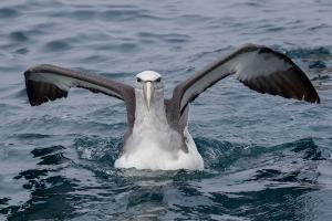 Albatros de Salvin. Foto: Pío Marshall