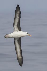 Albatros de ceja negra. Foto: Pío Marshall