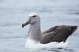 Albatros de Salvin. Foto: Pablo Cáceres