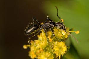 Camponotus-morosus-polinizando-a-Sanicula-crassicualis-a-cambio-de-nectar(Mutualismo).-Foto.-P.-Cerpa)
