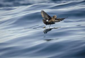 Golondrina de mar de Wilson - Cristián Pinto