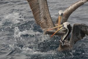 Pelícano de Humboldt. Foto: Ivo Tejeda