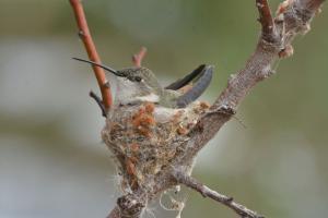 Picaflor del norte (nido). Foto: Marcelo Torrejón